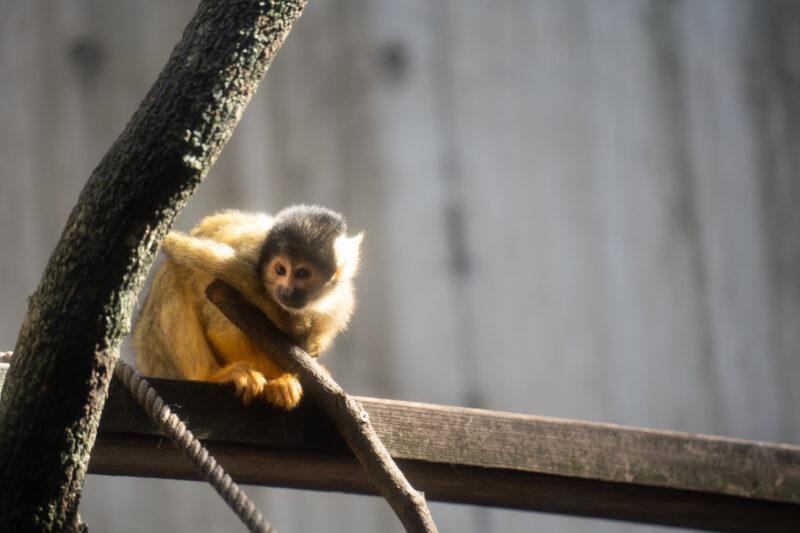 タムロン70-180mm F/2.8 Di III VXD (Model A056)で猿を撮影